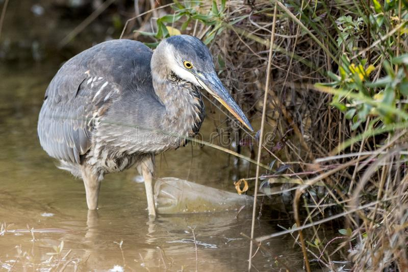 Great Blue Heron fishing in dirty polluted water with trash and litter. Great Blue Heron fishing in dirty brown polluted waterway with plastic bottle trash and royalty free stock photos
