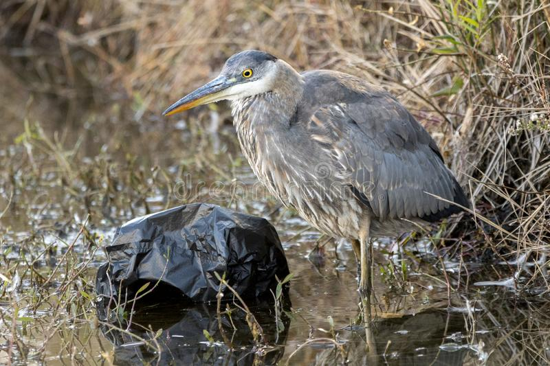 Great Blue Heron fishing in dirty polluted water with trash and litter. Great Blue Heron fishing in dirty brown polluted waterway with plastic trash bag and stock images