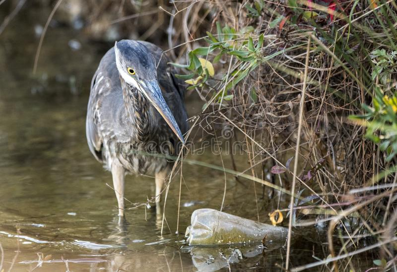 Great Blue Heron fishing in dirty polluted water with trash and litter. Great Blue Heron fishing in dirty brown polluted waterway with plastic bottle trash and stock image
