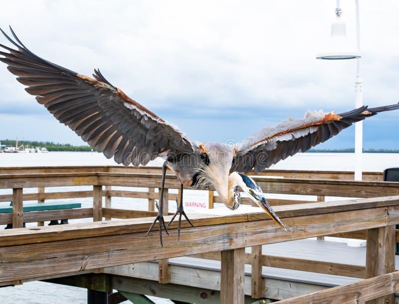 Great Blue Heron on fishing pier in Bradenton Florida. Great Blue Heron fishing off pier in Bradenton Beach in Bradenton Florida royalty free stock photos