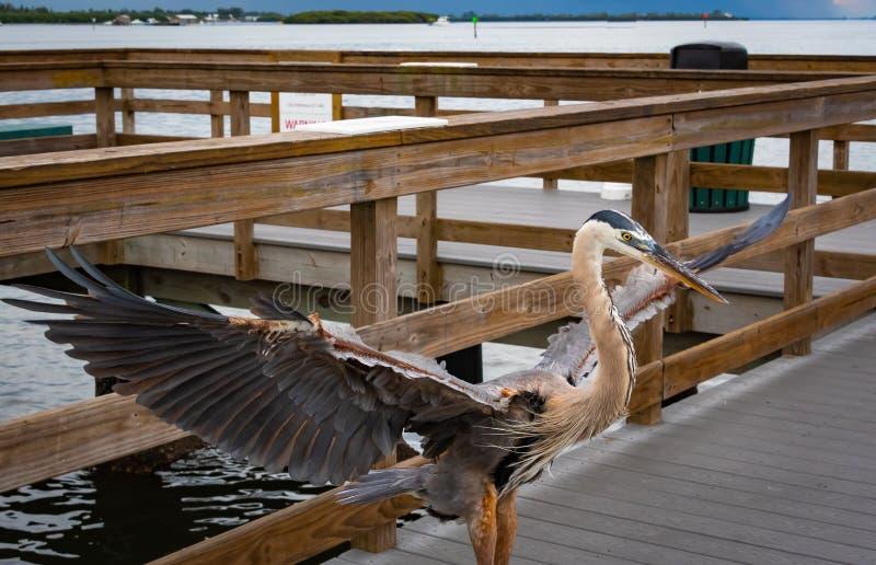 Great Blue Heron on fishing pier in Bradenton Florida. Great Blue Heron fishing on pier in Bradenton Beach Florida stock photos