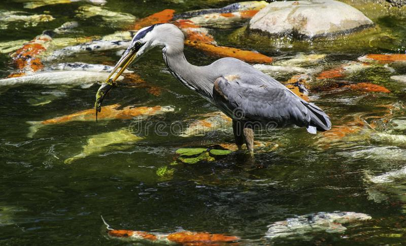 Great Blue Heron fishing in a pond full of Koi. In the afternoon, at a Chinese garden in California stock photo