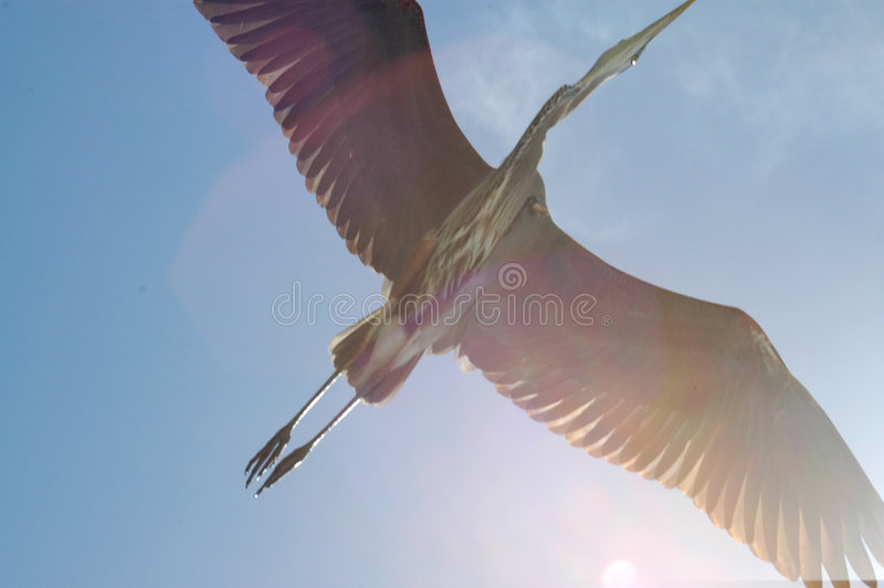 Great Blue Heron flies overhead royalty free stock image