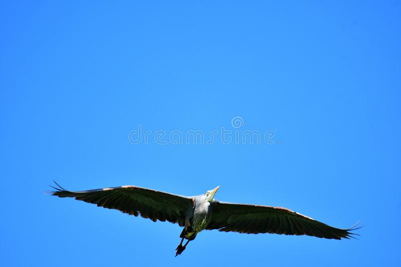 A Great Blue Heron flies overhead, its wings spread out. royalty free stock image