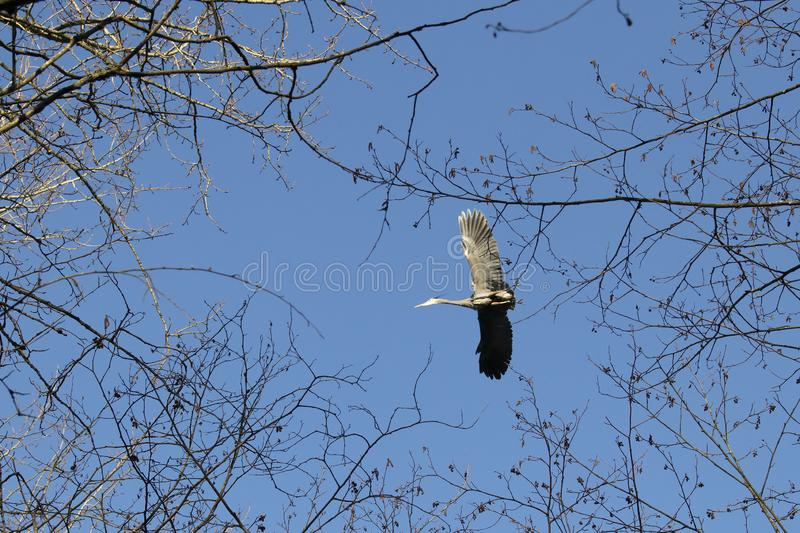 Great blue heron flies overhead near a nesting site royalty free stock images