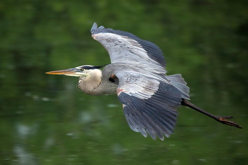 Download Great Blue Heron In Flight stock photo. Image of great - 16521778