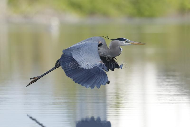 Great Blue Heron in flight - Estero Island, Florida. Great Blue Heron Ardea herodias in flight - Estero Island, Florida stock photos