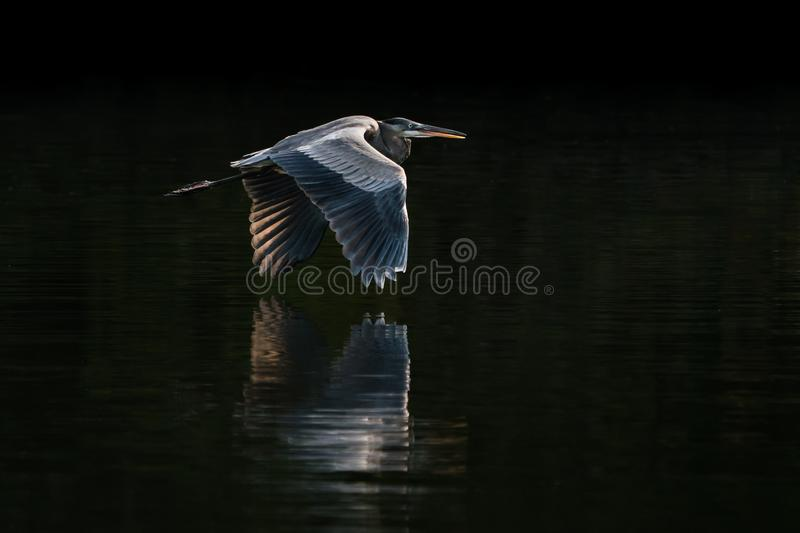 Great Blue Heron in Flight VIII. Backlit Great Blue Heron Taking off from Water royalty free stock photography