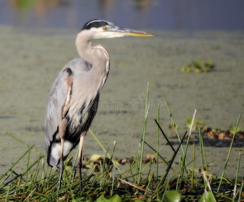 The Great Blue Heron royalty free stock photo