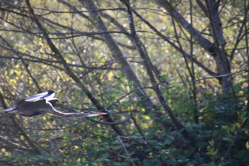 A great blue heron flying in front of trees stock photography