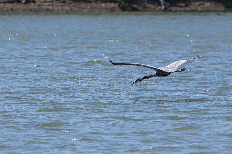 Great Blue Heron flying low over lake. A graceful Great Blue Heron flying low over the surface of a lake with with its neck extended out and its beak open as it royalty free stock photo