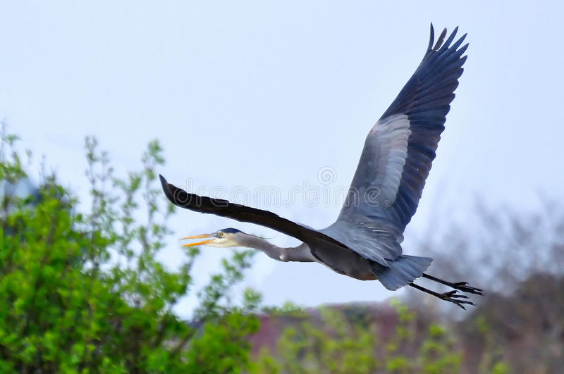 Great Blue Heron flying over a bush. Bc.canada royalty free stock photo