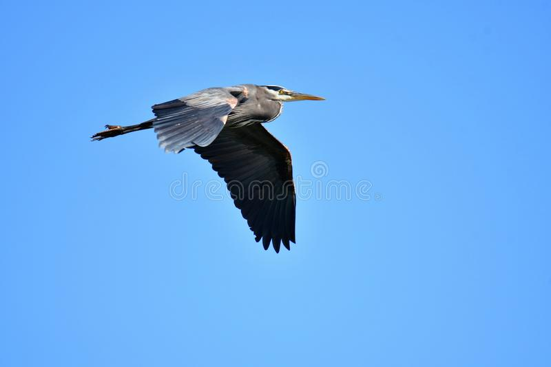 Great Blue Heron flying in the sky. stock photo