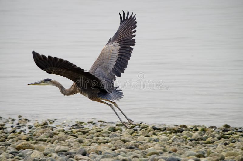 Great Blue Heron Flying royalty free stock photo