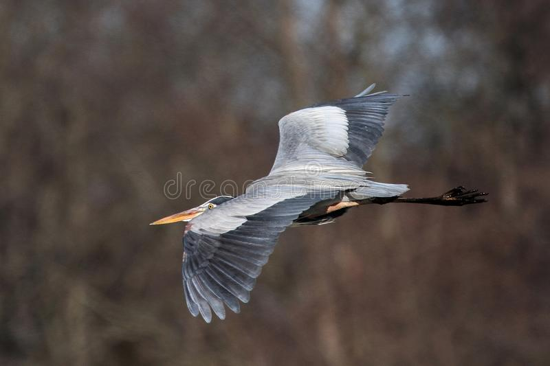 Great Blue Heron in Flight over Delaware. Great Blue Heron flying by while visiting Augustine Wildlife Area in Central Delaware royalty free stock image