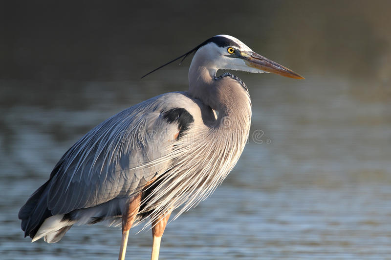 Great Blue Heron - Fort Myers Beach, Florida Royalty Free Stock Photography