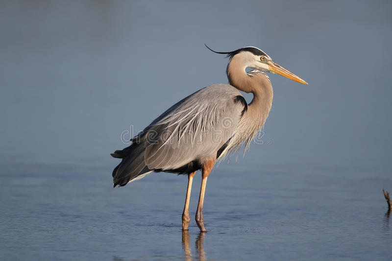 Great Blue Heron - Fort Myers Beach, Florida. Great Blue Heron (Ardea herodias) - Fort Myers Beach, Florida stock image
