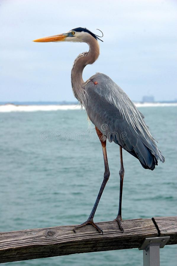 Great blue heron. Full-length closeup view of a great blue heron, dark form, in the wild, standing on a wooden railing near water stock photo
