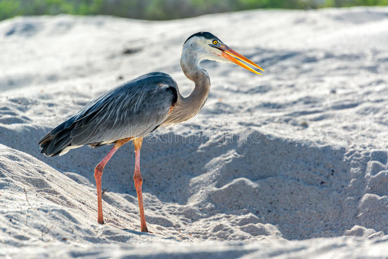 Great Blue Heron in Galapagos stock photo