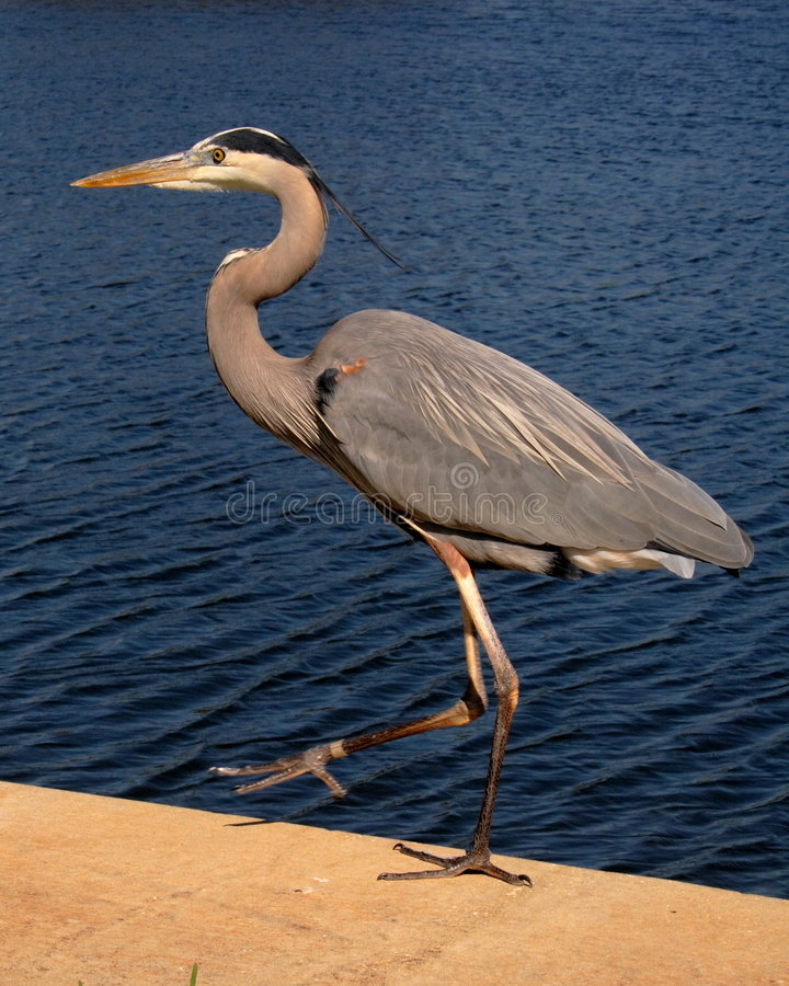Free Great Blue Heron Got A Leg Up Royalty Free Stock Images - 2057169
