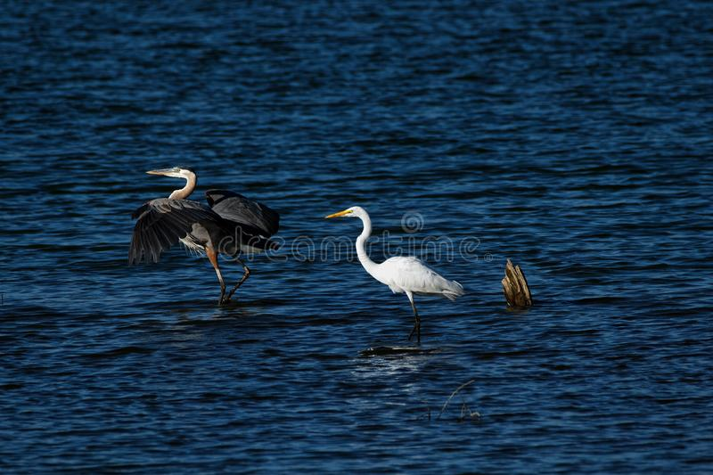 Great Blue Heron and Great Egret in the Water. A Great Blue Heron and Great Egret walk through the water. The Great Blue Heron has it's wings outstretched royalty free stock image