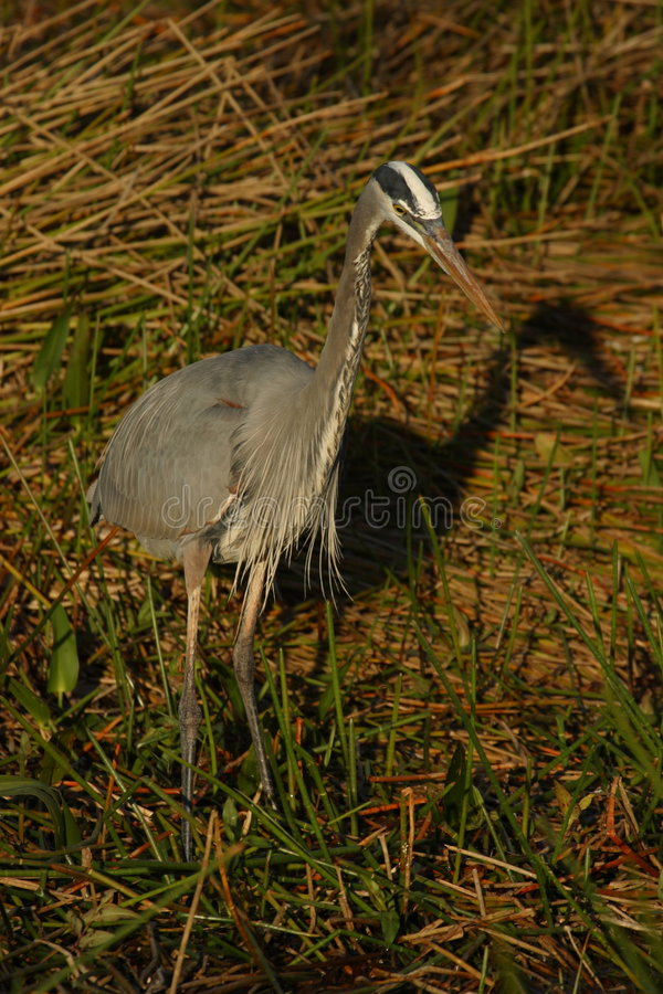Great Blue Heron Hunting. A great blue heron hunting in the Anhinga Trail area of Everglades National Park stock image