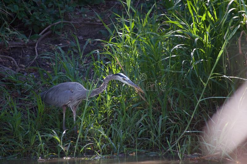 Great blue heron hunting royalty free stock images