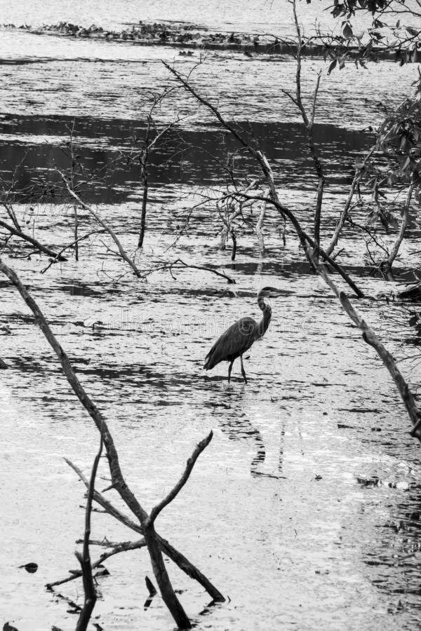 Black and White of a Great Blue Heron stock images