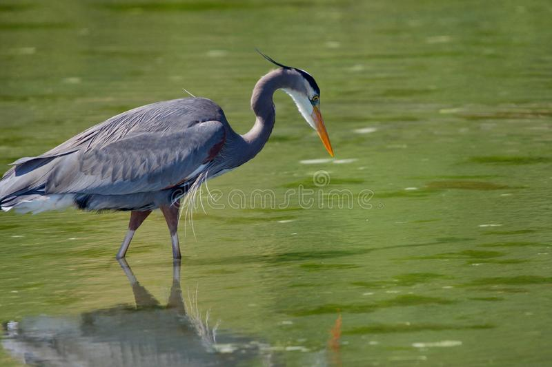 Great blue heron hunts for fish in green tide pool. Witty`s Lagoon, Vancouver Island, British Columbia royalty free stock image