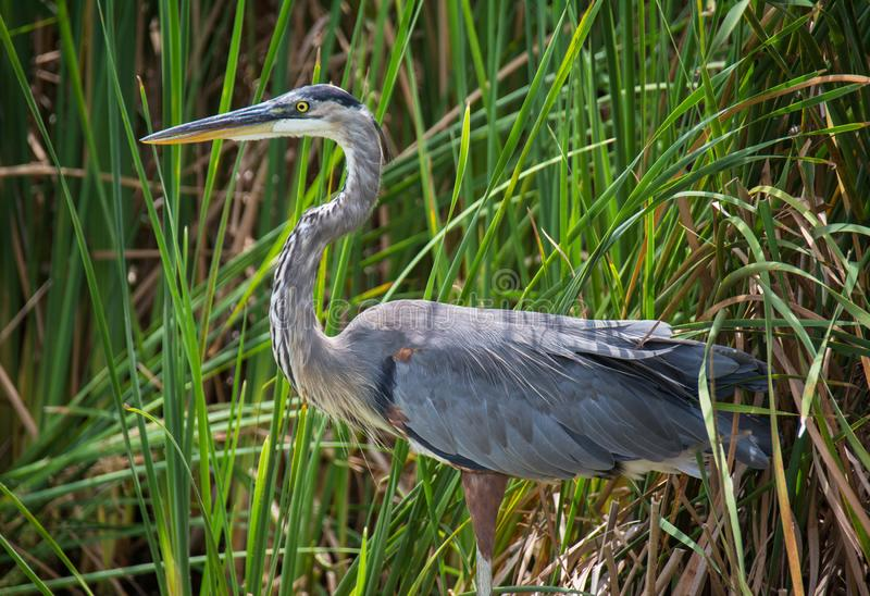 Great Blue Heron Laying In Ambush. A Great Blue Heron hunts in a South Carolina swamp on humid summer afternoon royalty free stock images