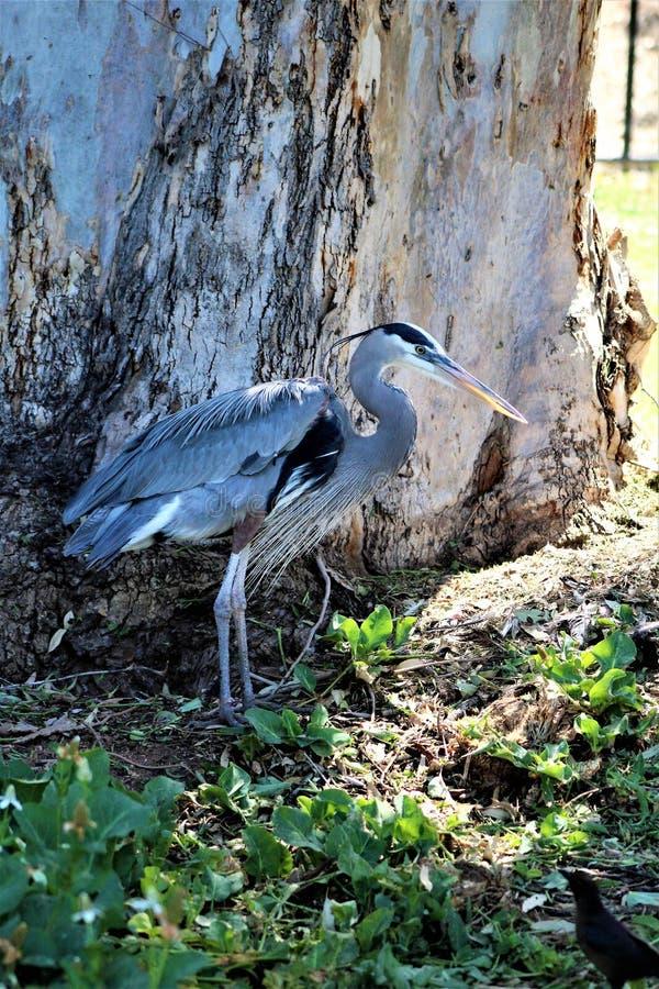 Great Blue Heron Large Wading Bird. Located in Phoenix, Arizona, United States royalty free stock photo