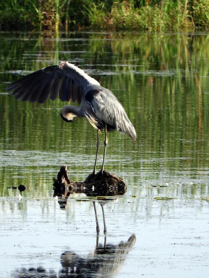 Great Blue Heron preening its lifted wing in Montezuma mars. The Great Blue Heron is the largest North American heron. Montezuma National Wildlife Refuge is a royalty free stock images