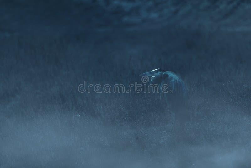 Great Blue Heron marsh standing in a marsh stock photo