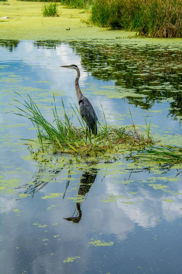 Great Blue Heron Mirror Image. A Great Blue Heron hunts in a South Carolina swamp on a humid summer day stock photo