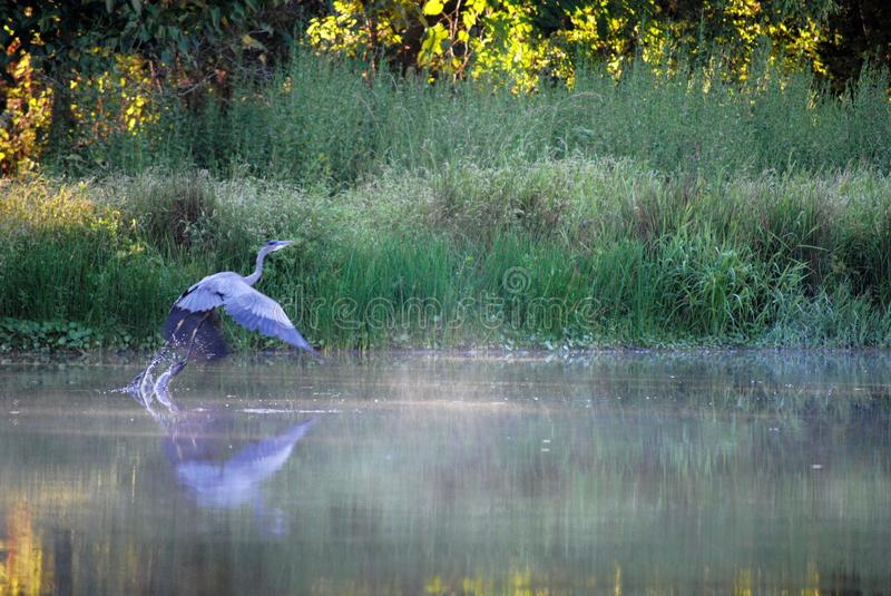 Great Blue Heron Morning stock photography
