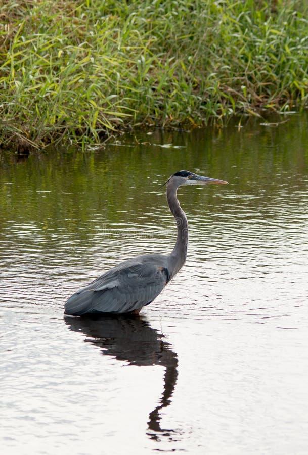 Great Blue Heron #3 stock photos