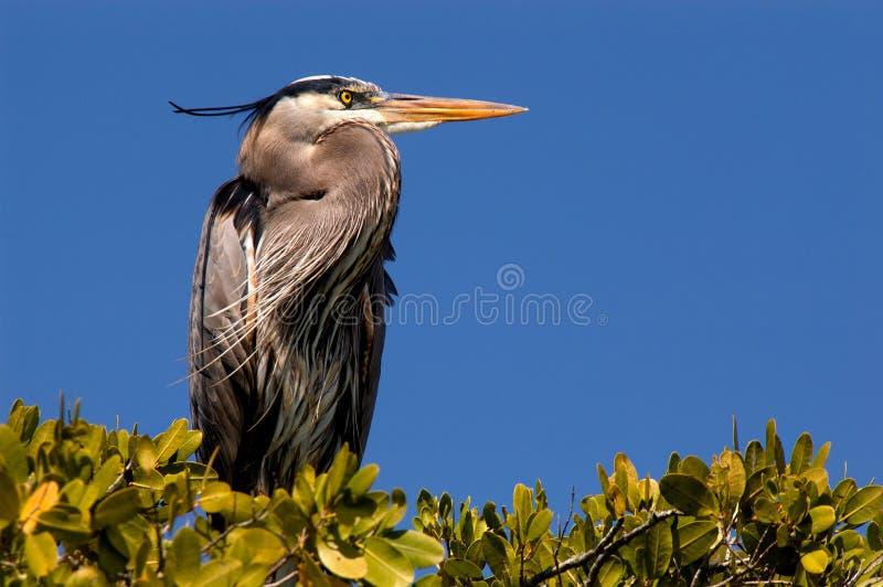 Great blue heron nesting in green mangroves in Estero Bay, Florida. stock photos