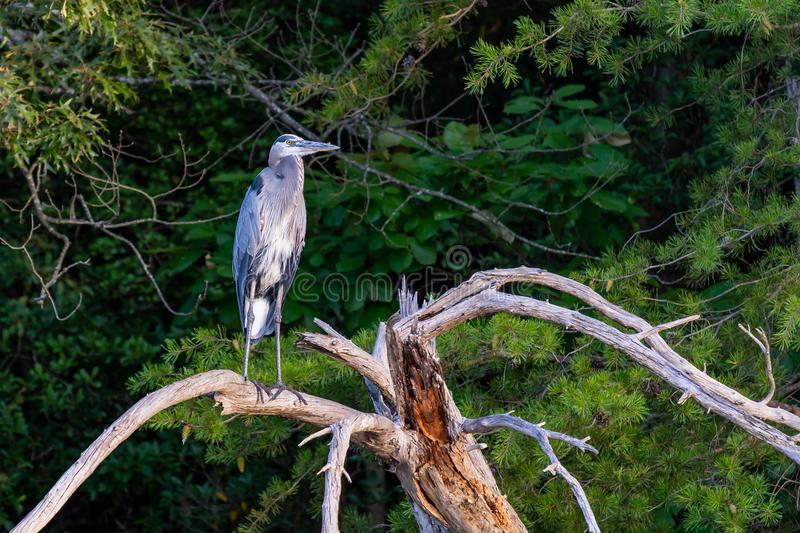 Great Blue Heron on a Perch royalty free stock photo