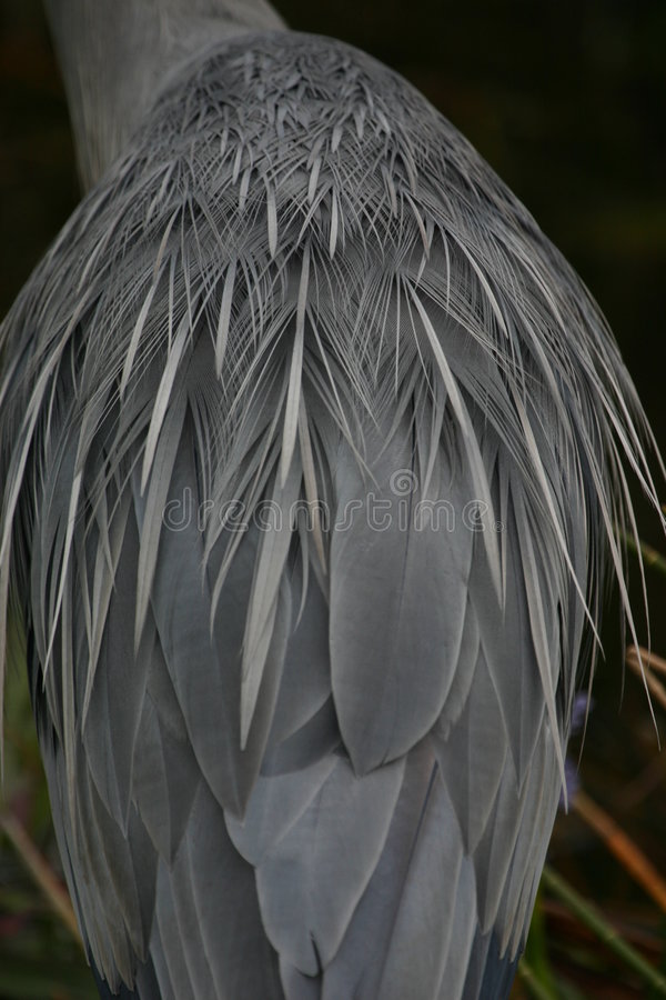 Great blue heron plumage detail stock photos