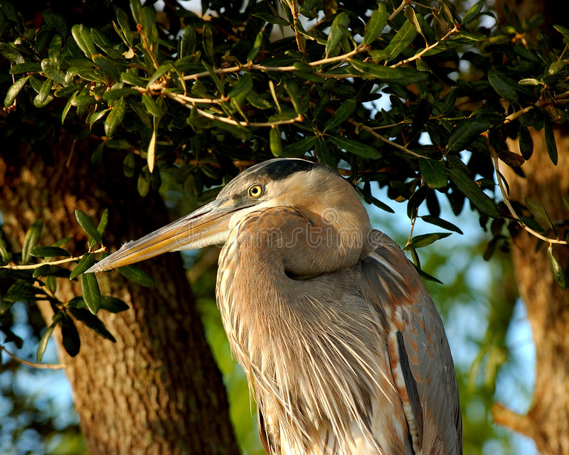 Download Great Blue heron Portrait stock image. Image of blue, wildlife - 1741531