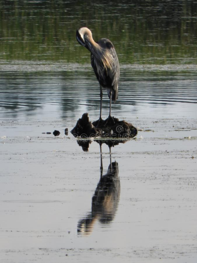Great Blue Heron preening with reflection on water. The Great Blue Heron is the largest North American heron. Montezuma National Wildlife Refuge is a wildlife stock photos