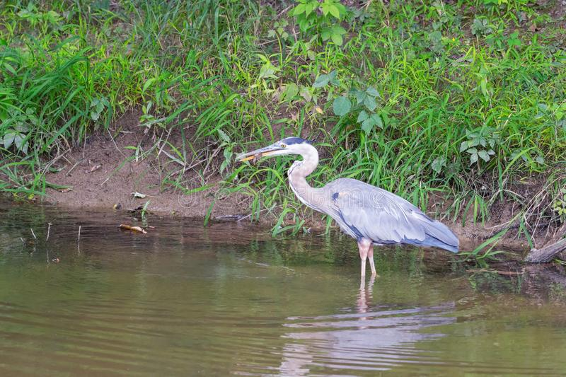 Great Blue Heron with prey.Cuyahoga Valley National Park.Ohio.USA royalty free stock images