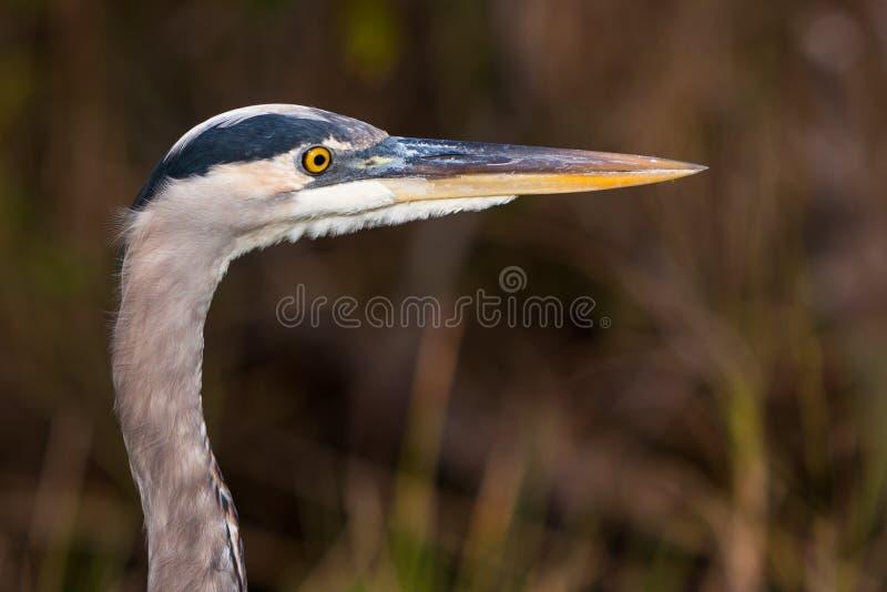 Great Blue Heron Profile Royalty Free Stock Image