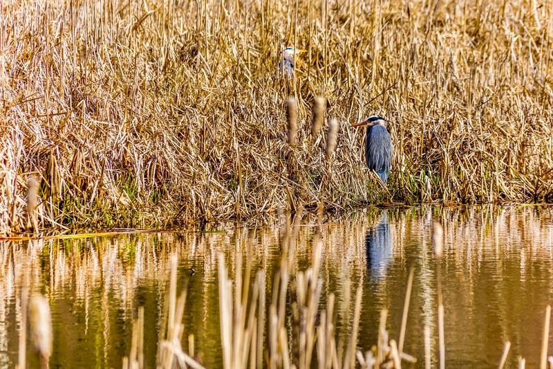 A Great Blue Heron in the reeds near Chilliwack in BC, Canada royalty free stock image