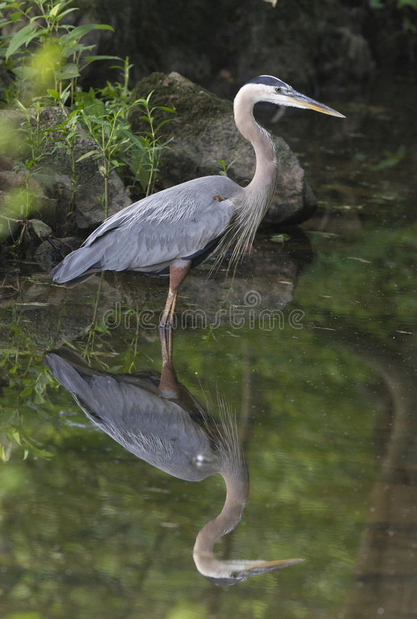 Great Blue Heron and reflection stock photos