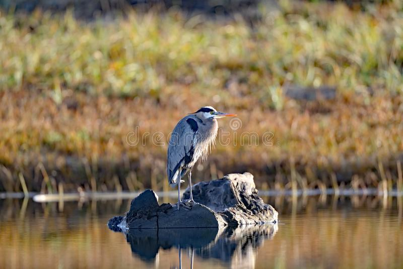 Great Blue Heron on a Rock royalty free stock images