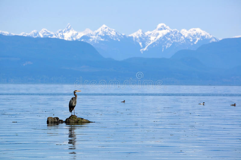 Great blue heron on rock royalty free stock photography