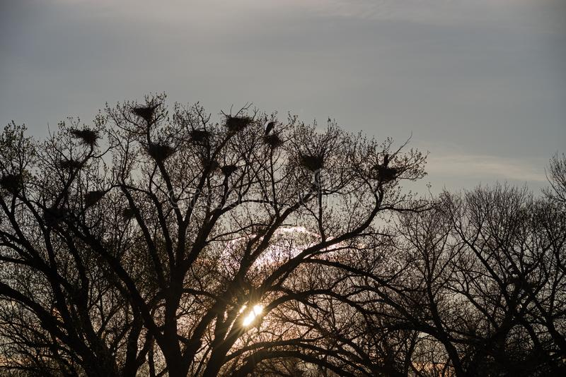 Great Blue Heron Rookery Silhouette royalty free stock image