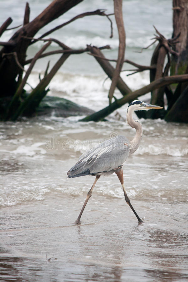 Great Blue Heron Sea Bird Wading at Gulf of Mexico. A great blue heron wading through the water in the Gulf of Mexico stock photos