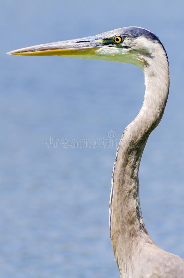 A Great Blue Heron royalty free stock photos